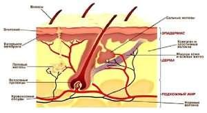 На фото изображено строение волосяного покрова, где показано расположение кровеносного сосуда.