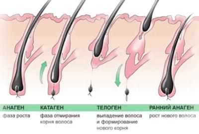 Фото жизненного цикла волоска.