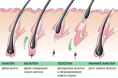 Стадии развития волоса