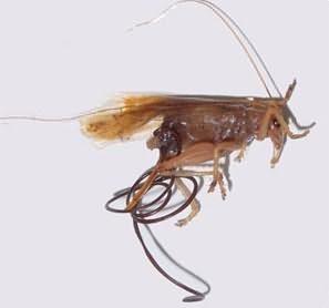 Конский волос паразит фото