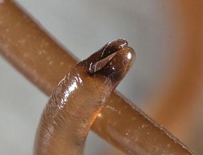 конский волос червь