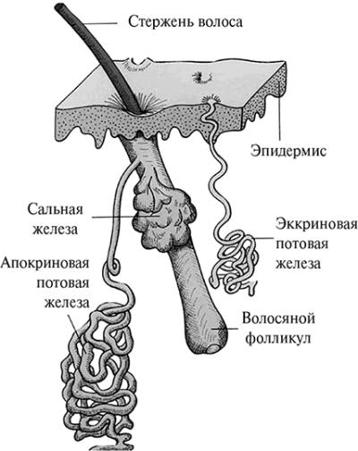 Потовые железы отвечают в том числе и за выработку феромонов