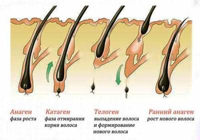 Изображение различных стадий жизни волоска.