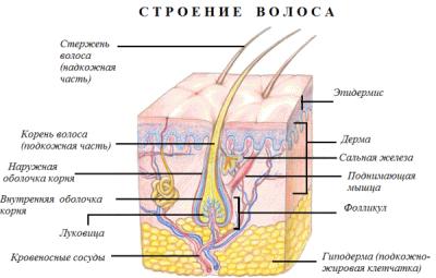 На схеме видна мышца, отвечающая за поднятие волоса